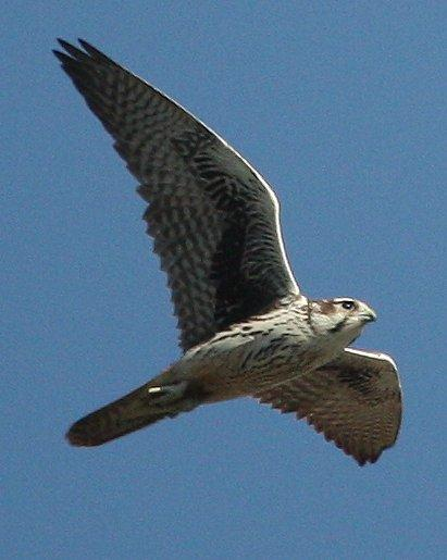 Prairie Falcon Photo by Andrew Core