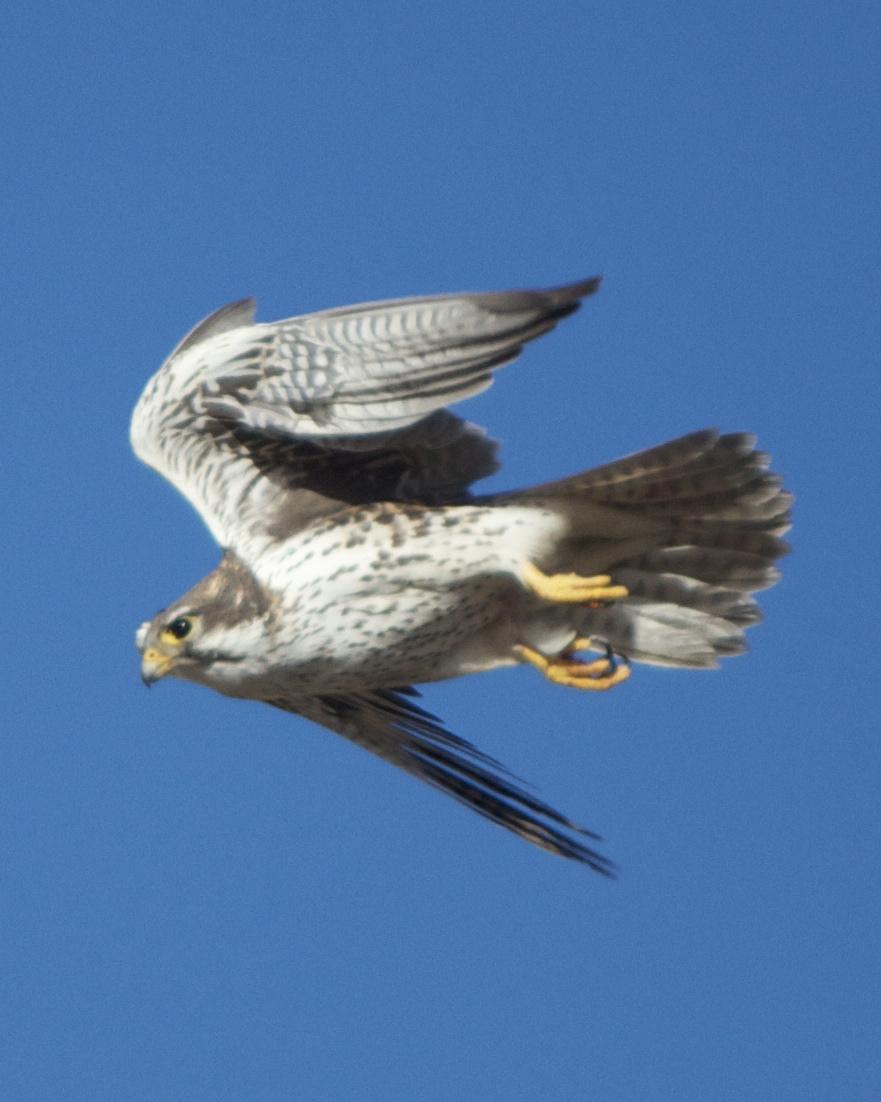 Prairie Falcon Photo by Mark Baldwin