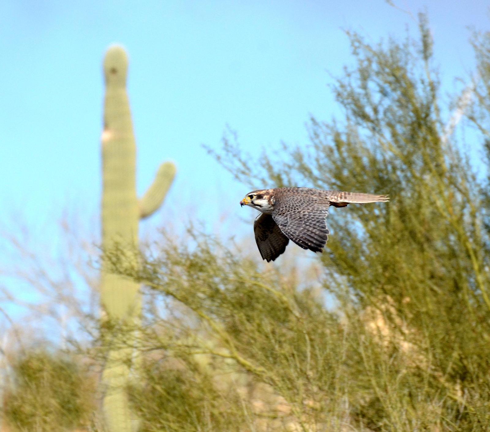 Prairie Falcon Photo by Steven Mlodinow