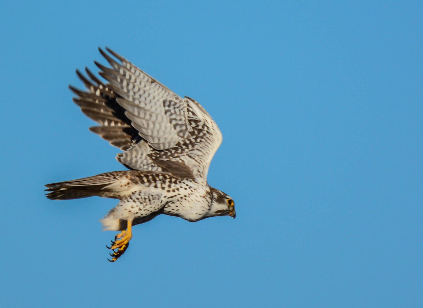 Prairie Falcon Photo by Karen Prisby
