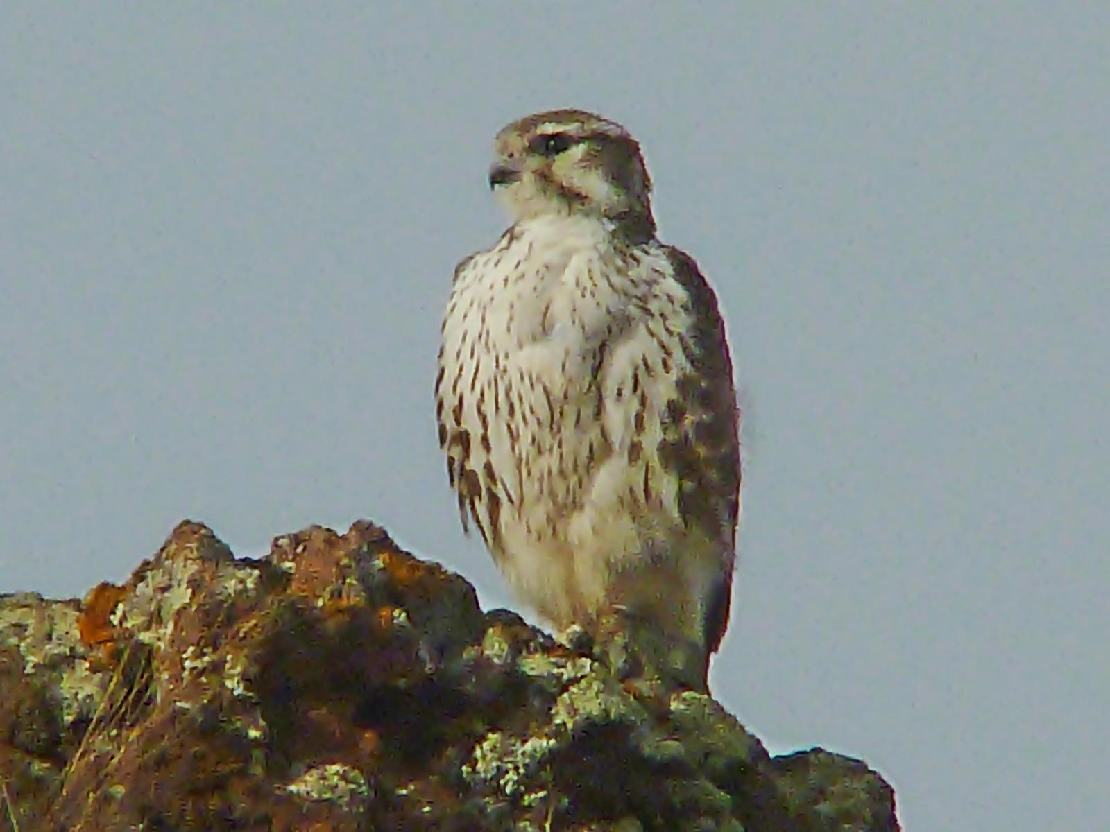 Prairie Falcon Photo by Bob Neugebauer