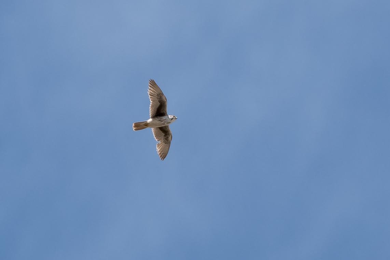 Prairie Falcon Photo by Gerald Hoekstra