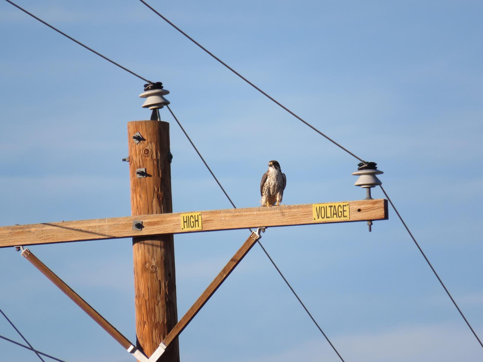 Prairie Falcon Photo by Lisa Owens