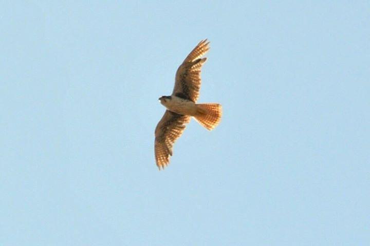 Prairie Falcon Photo by Karlo Antonio Soto Huerta