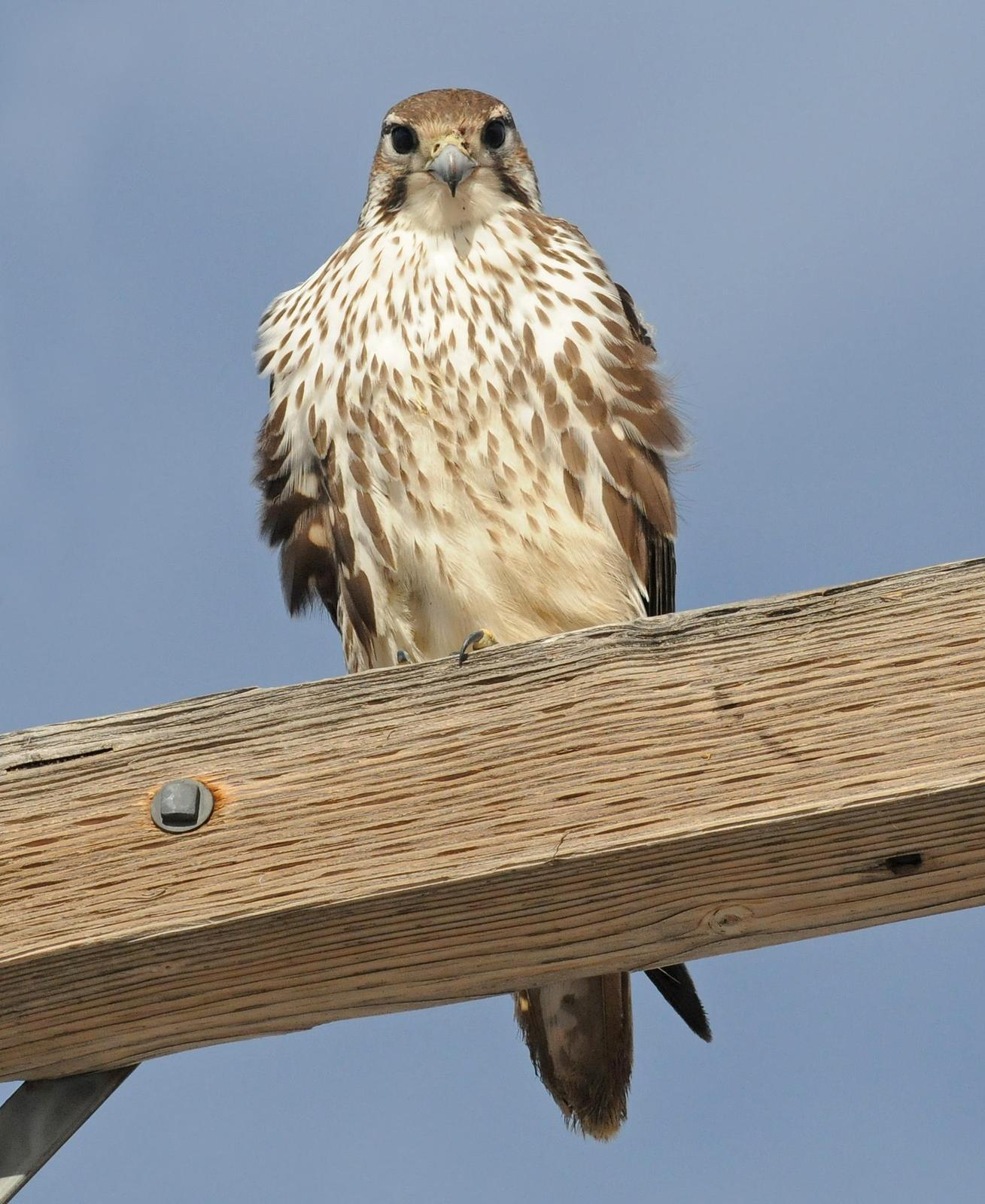 Prairie Falcon Photo by Steven Mlodinow