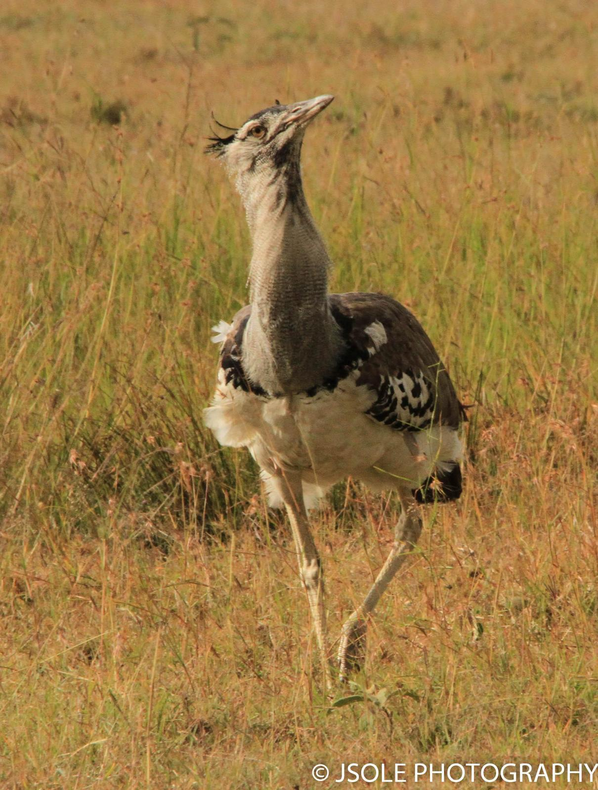 Kori Bustard Photo by Jeffery Sole