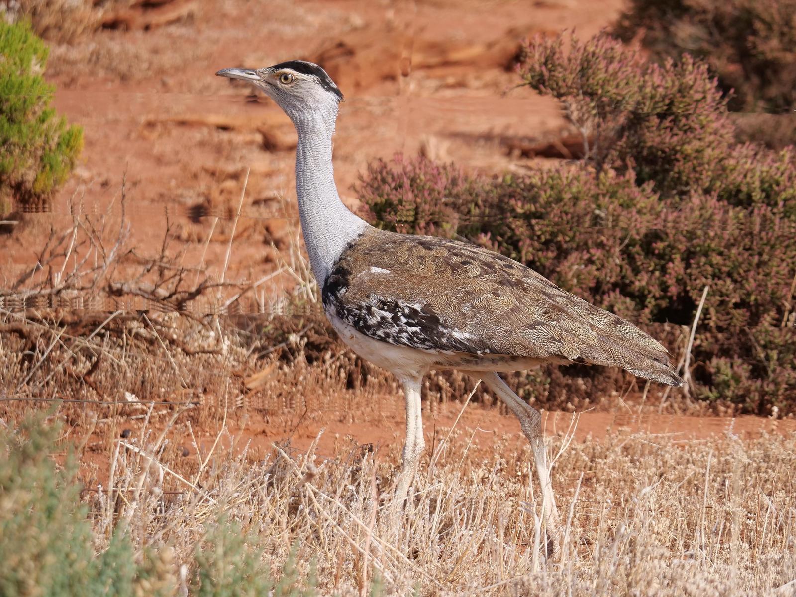 Australian Bustard Photo by Peter Lowe