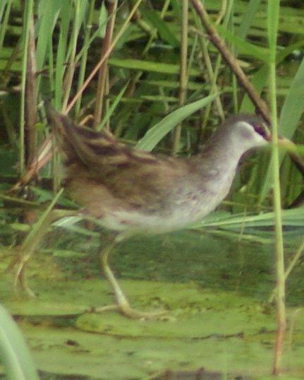 White-browed Crake Photo by Robin Oxley