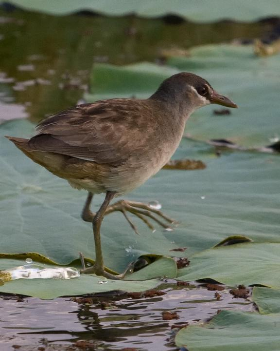 White-browed Crake Photo by Mat Gilfedder