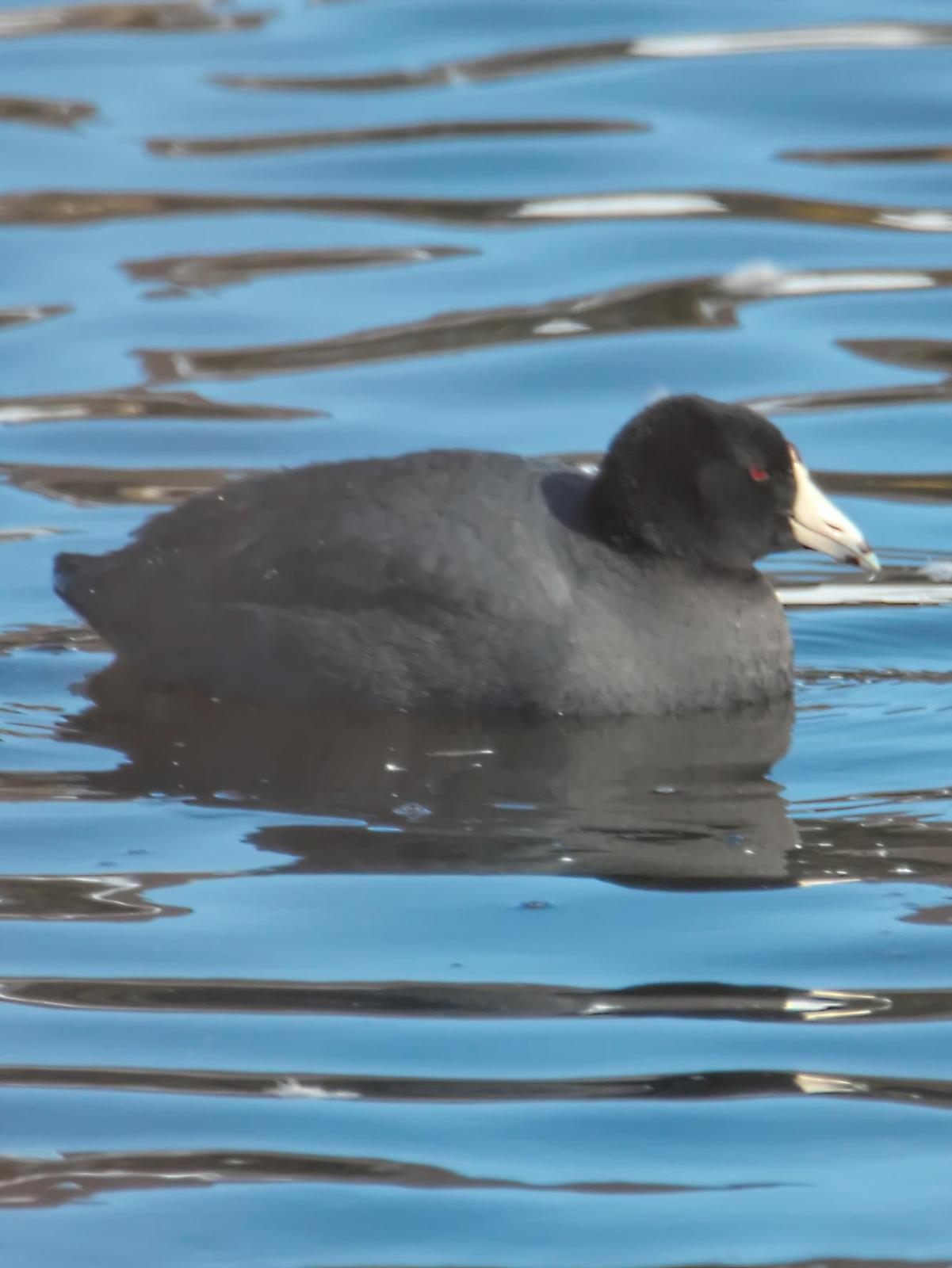 American Coot (Red-shielded) Photo by Dan Tallman