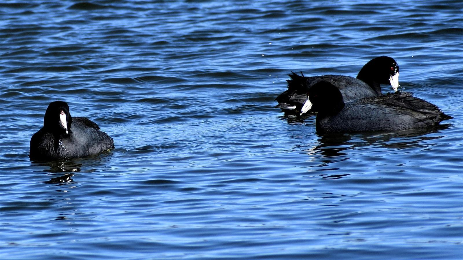 American Coot (Red-shielded) Photo by RM Beck