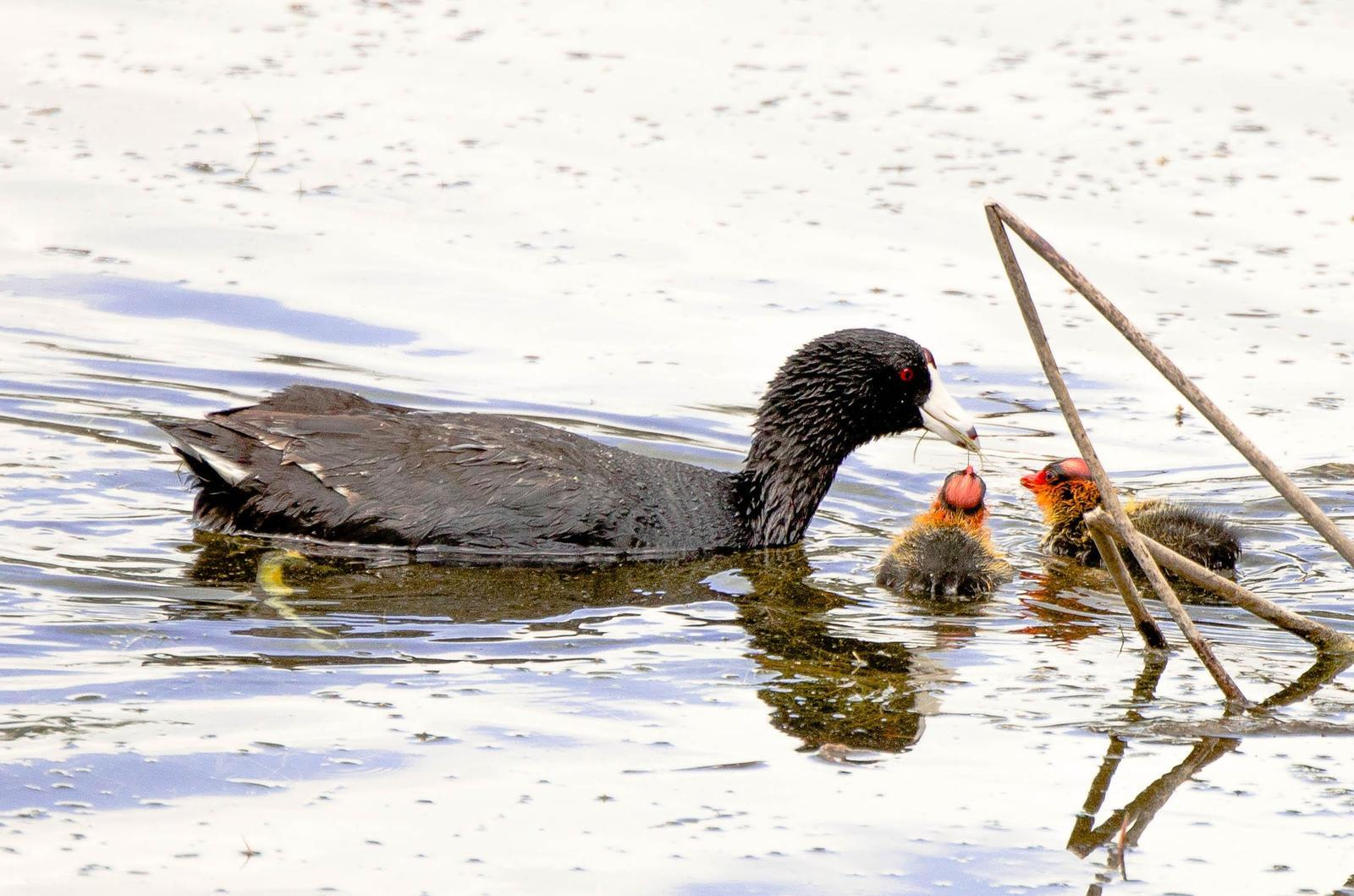 American Coot Photo by Scott Yerges