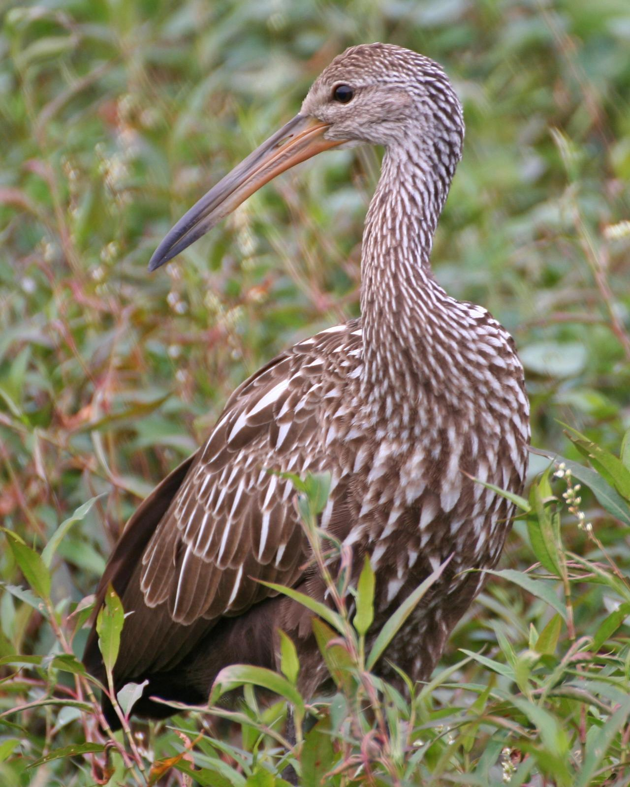 Limpkin Photo by Andrew Theus