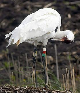 Whooping Crane Photo by Dan Tallman