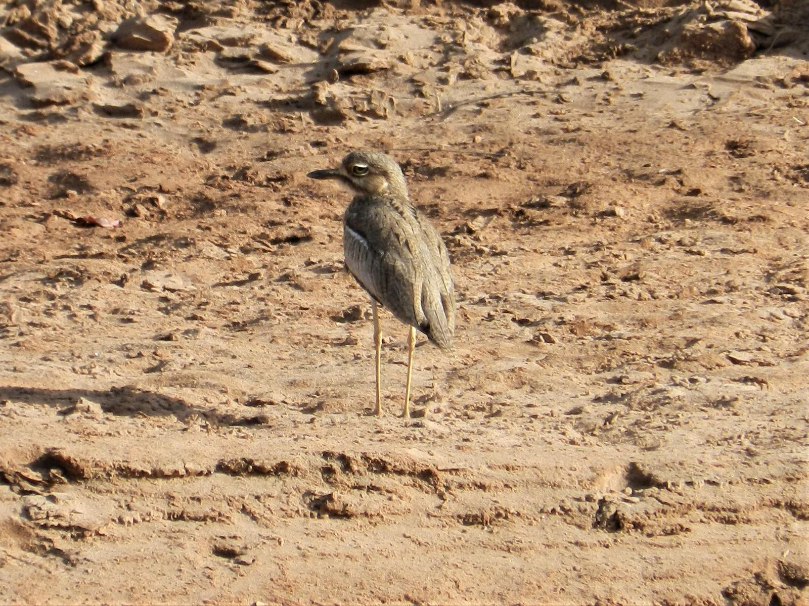 Water Thick-knee Photo by Richard Jeffers