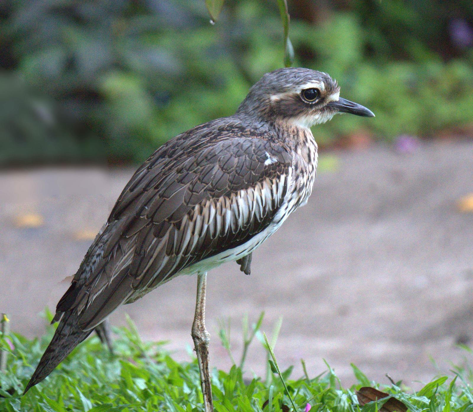 Bush Thick-knee Photo by Peter Lowe