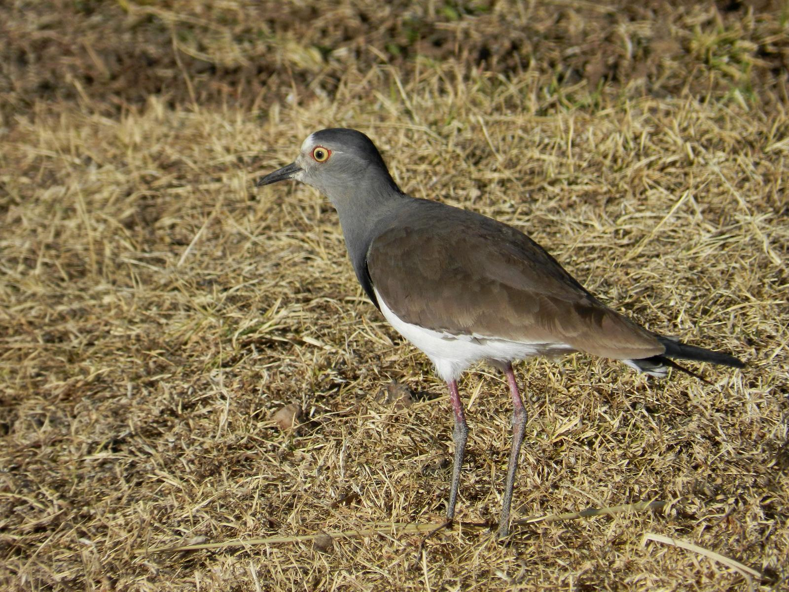 Black-winged Lapwing Photo by Richard Jeffers