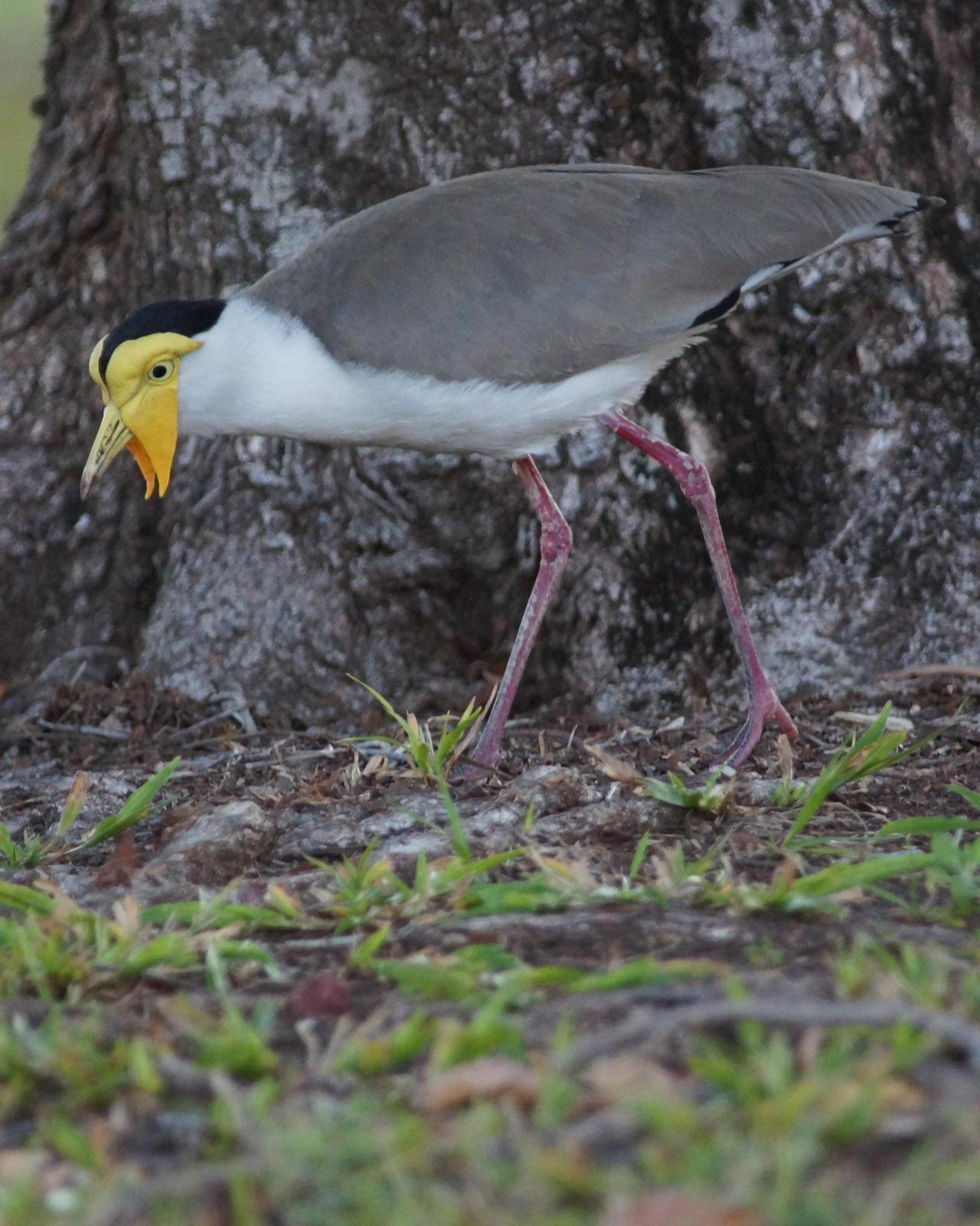 Masked Lapwing Photo by Steve Percival
