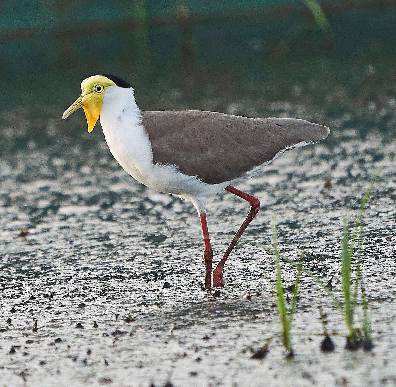 Masked Lapwing Photo by Steven Cheong
