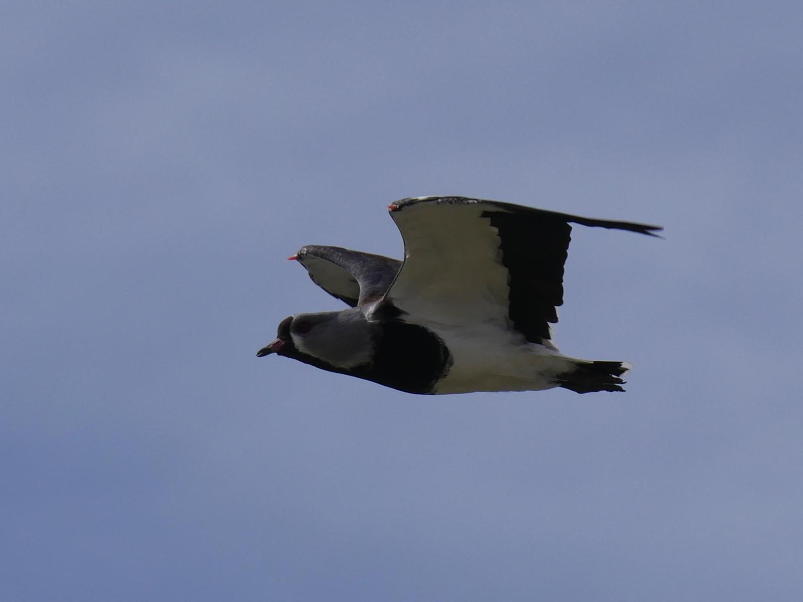 Southern Lapwing Photo by Peter Lowe