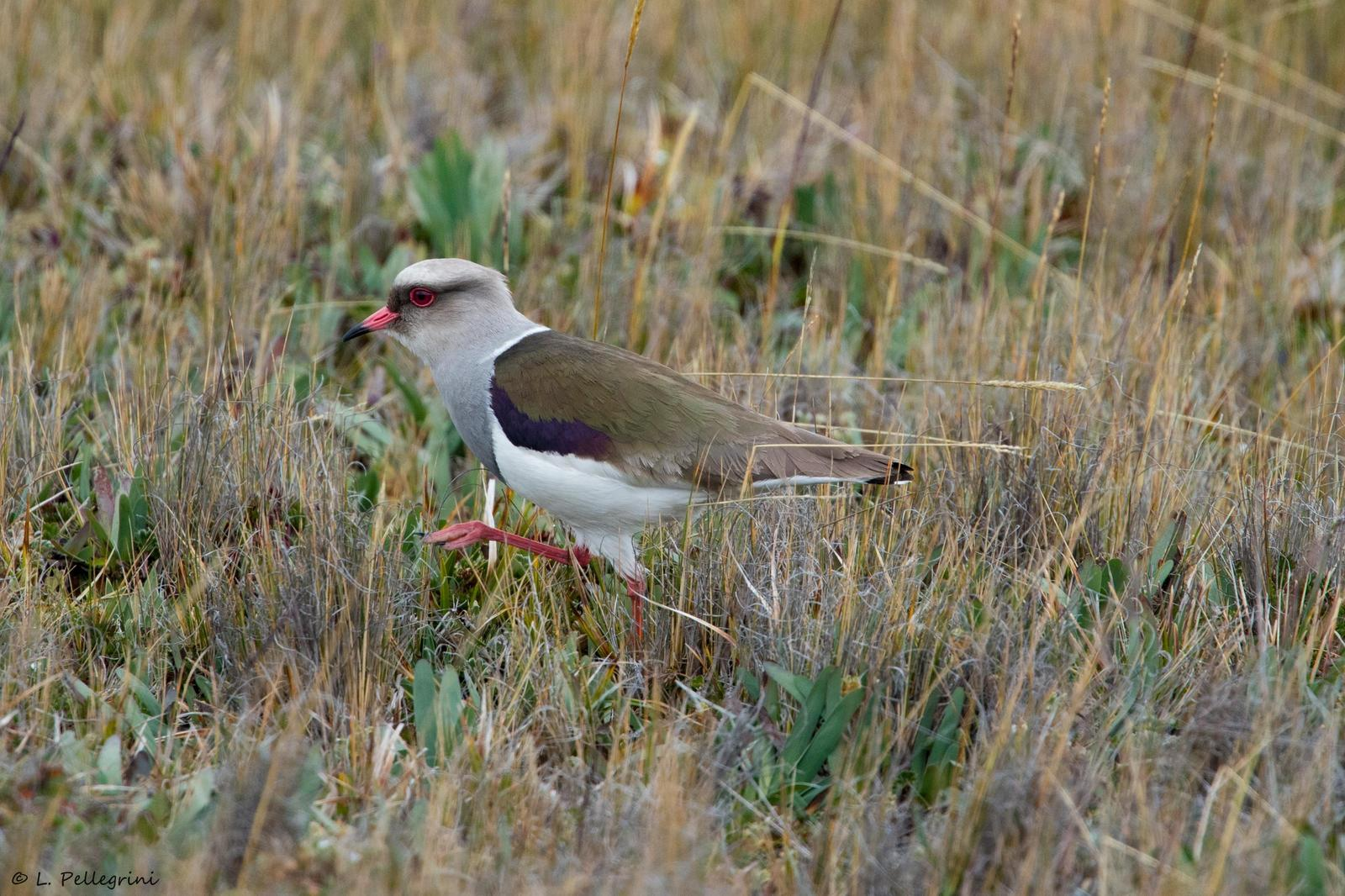 Andean Lapwing Photo by Laurence Pellegrini
