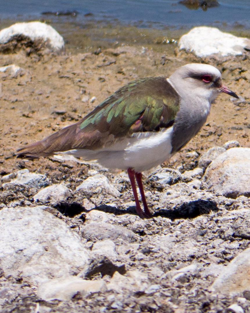 Andean Lapwing Photo by Randy Siebert