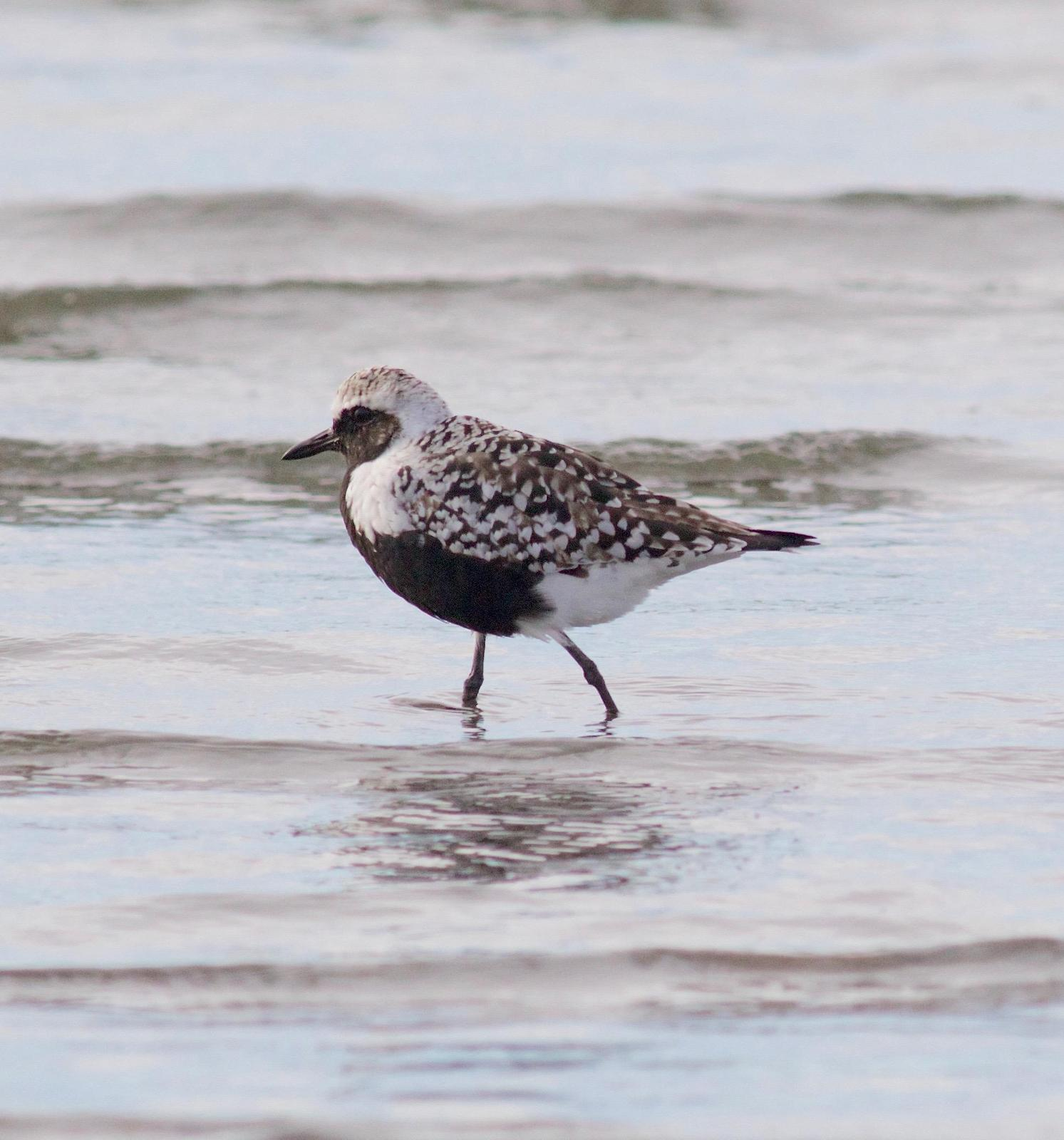 Black-bellied Plover Photo by Kathryn Keith