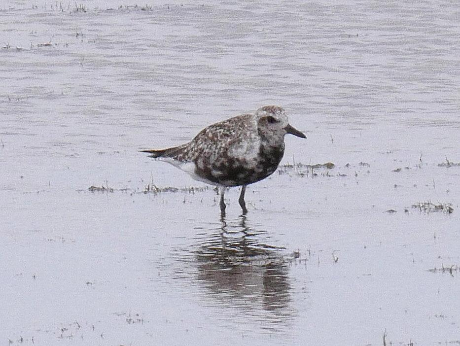 Black-bellied Plover Photo by Peter Lowe