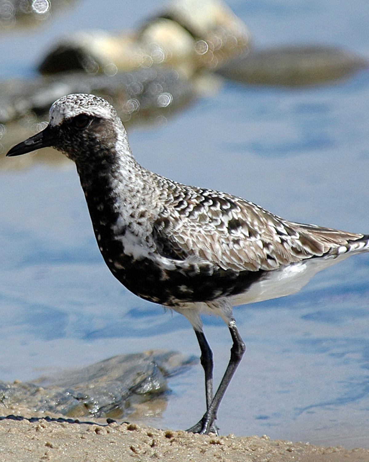 Black-bellied Plover Photo by Magill Weber