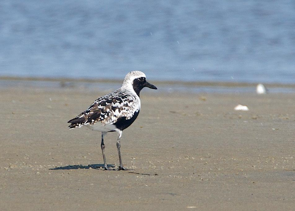 Black-bellied Plover Photo by Gerald Hoekstra