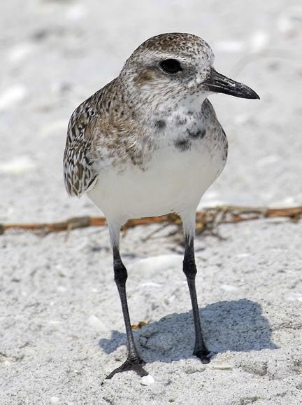 Black-bellied Plover Photo by Dan Tallman