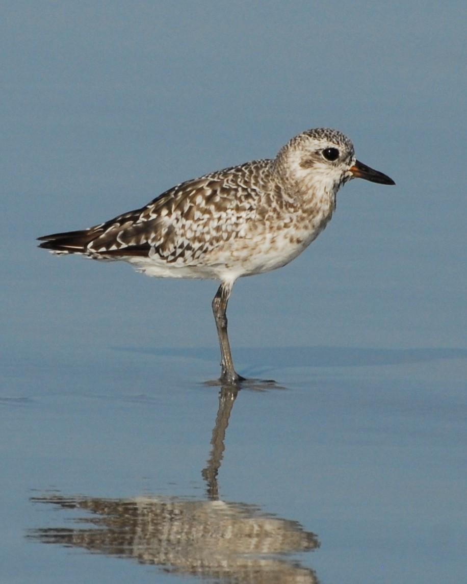 Black-bellied Plover Photo by David Hollie