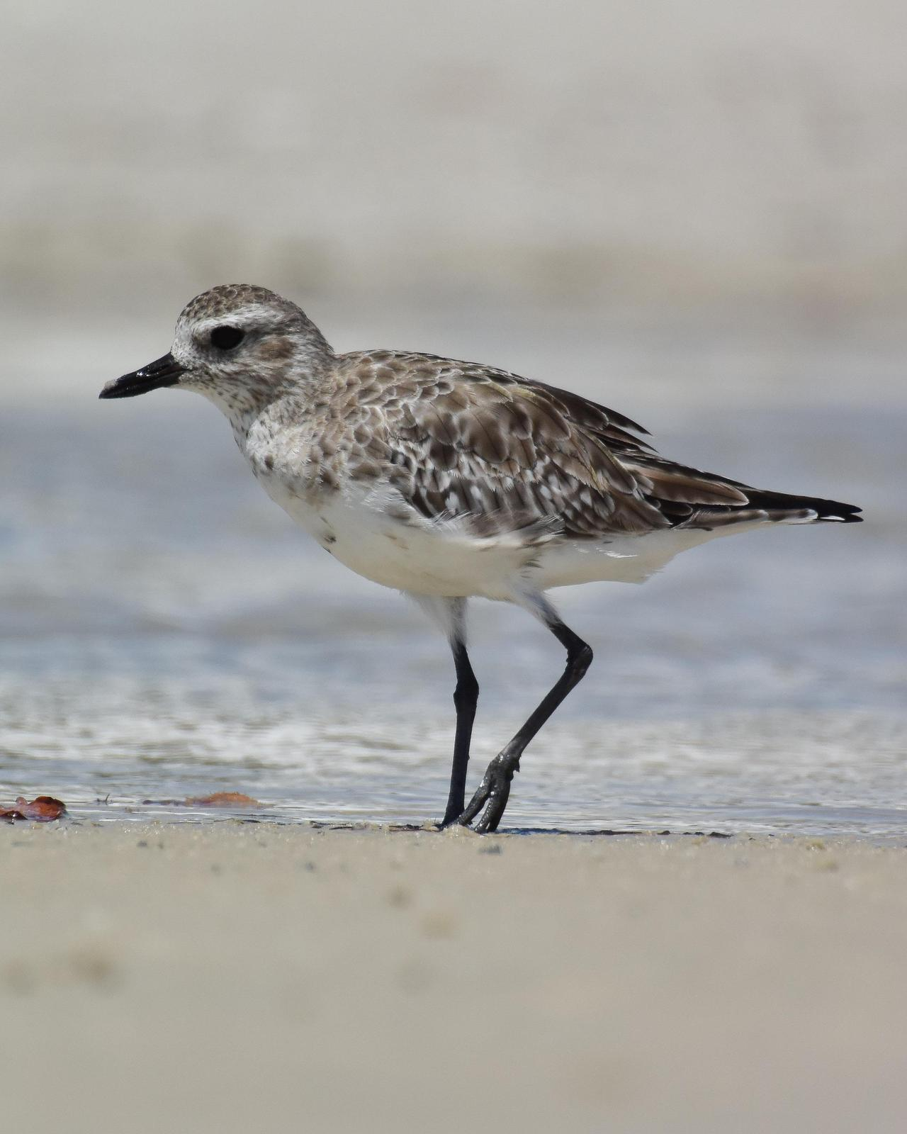 Black-bellied Plover Photo by Emily Percival