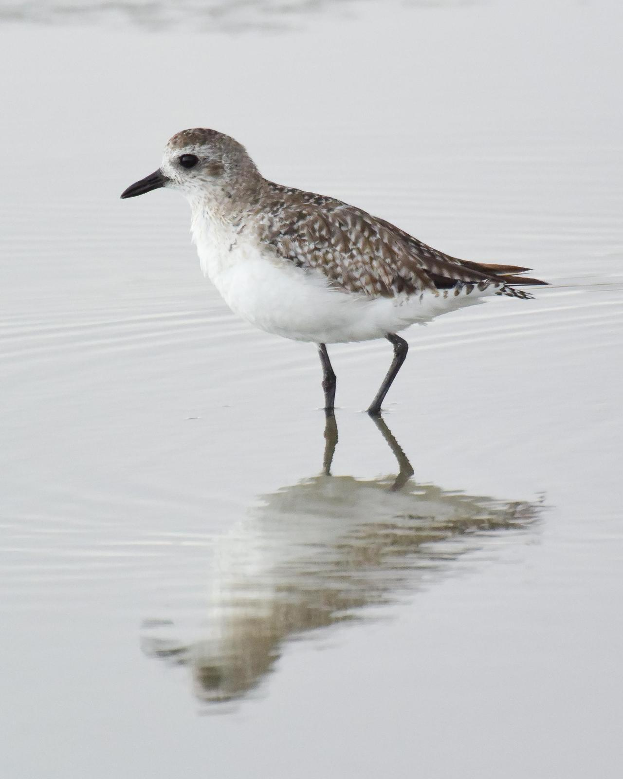 Black-bellied Plover Photo by Steve Percival
