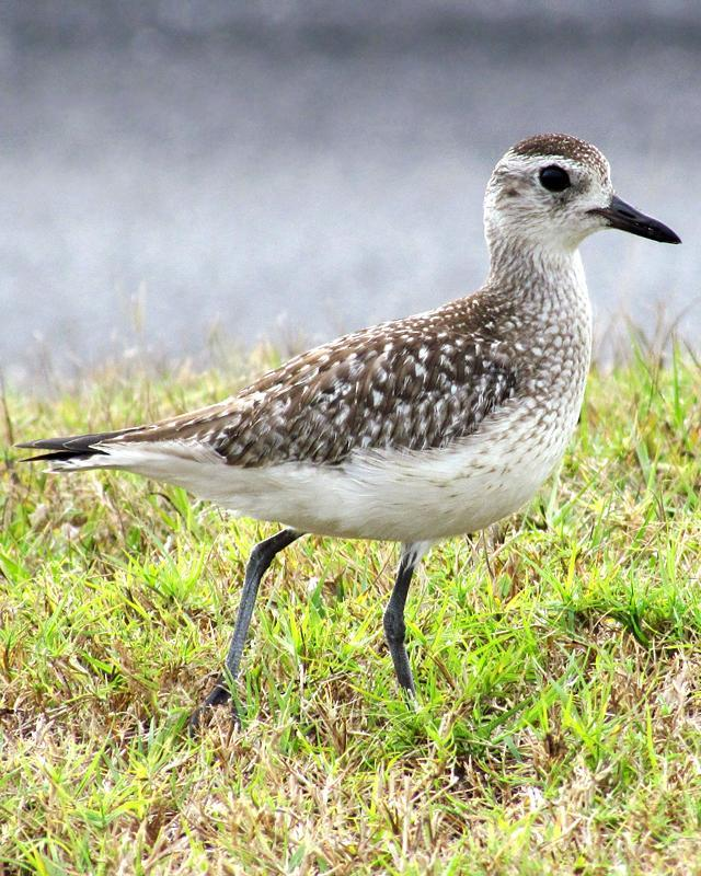 Black-bellied Plover Photo by Ashley Bradford