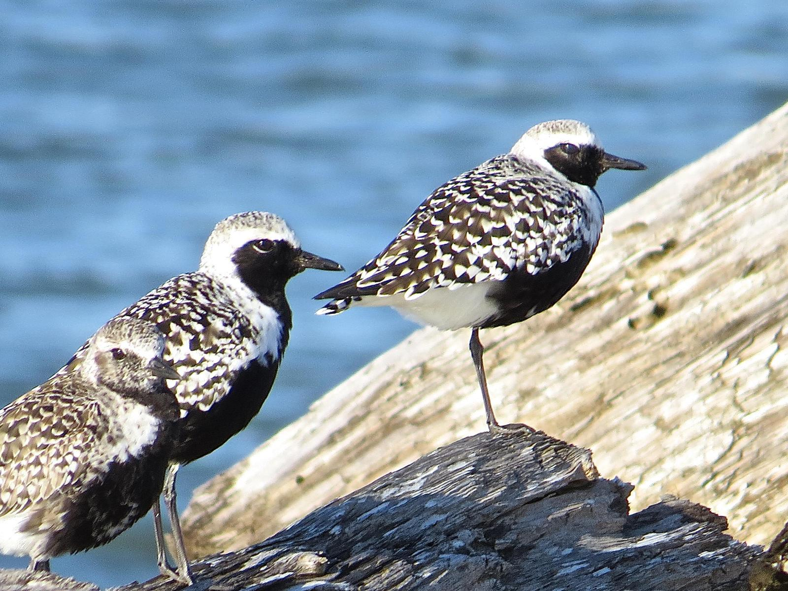 Black-bellied Plover Photo by Brian Avent