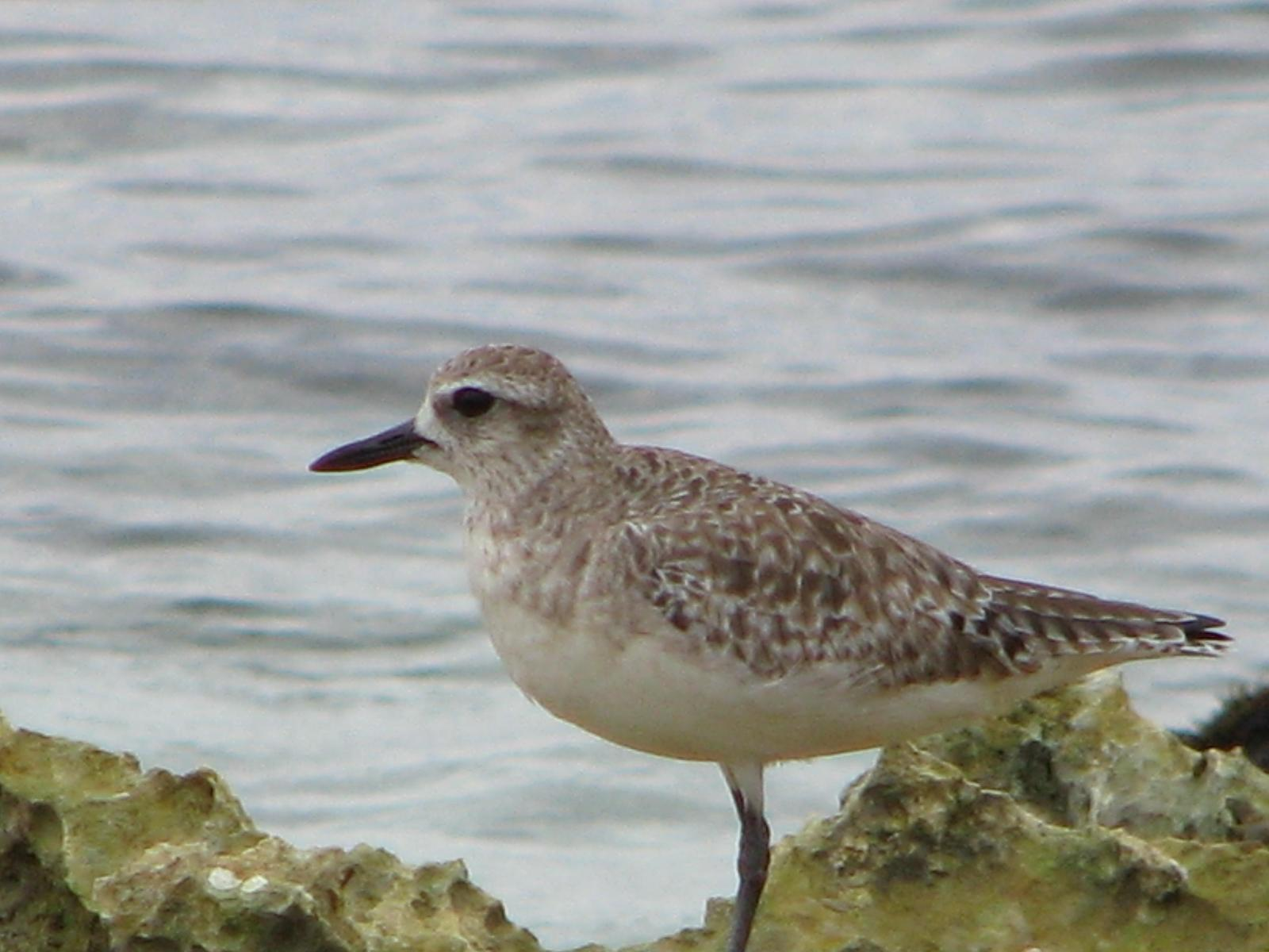Black-bellied Plover Photo by Ted Goshulak