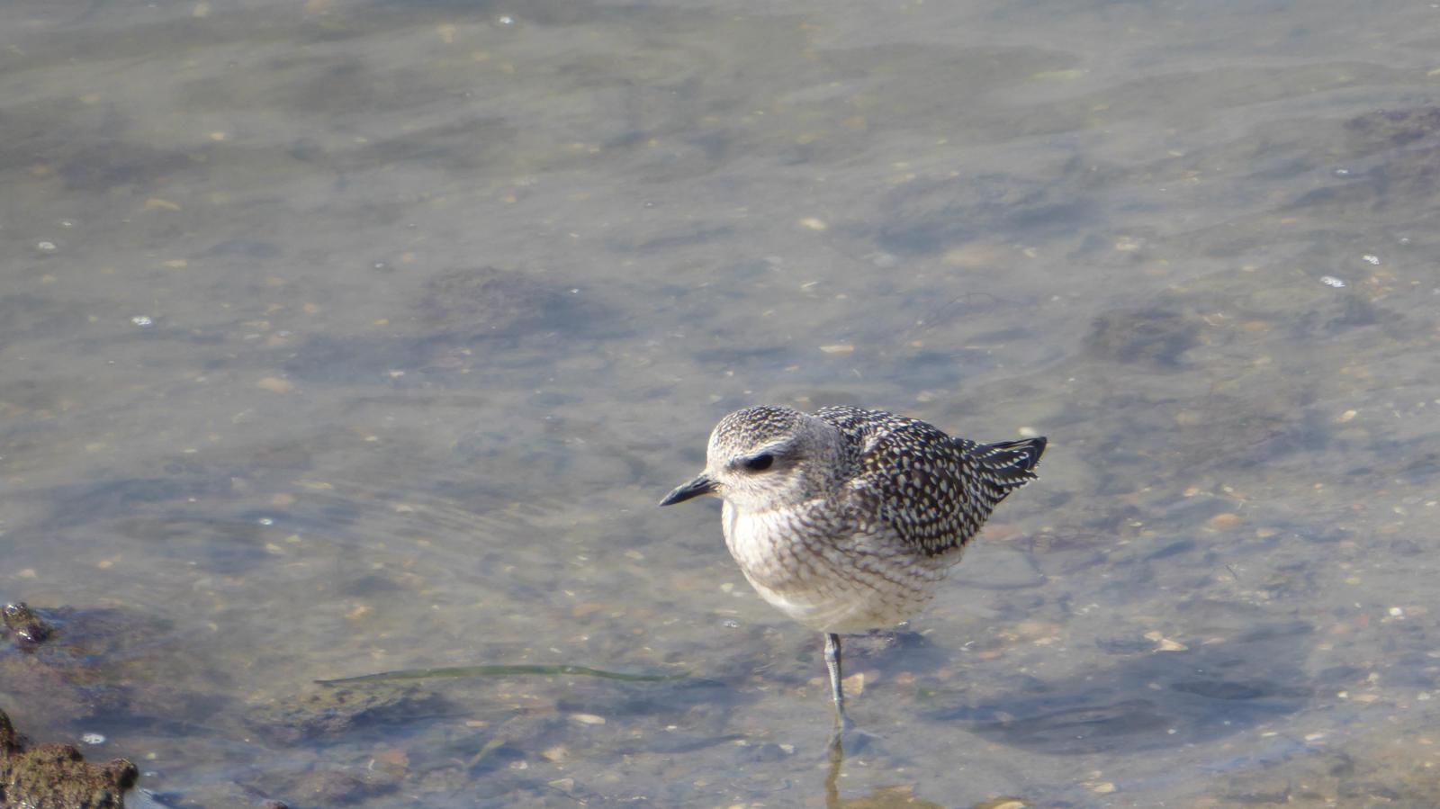 Black-bellied Plover Photo by Daliel Leite