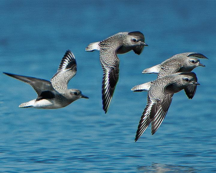 Black-bellied Plover Photo by Jean-Pierre LaBrèche