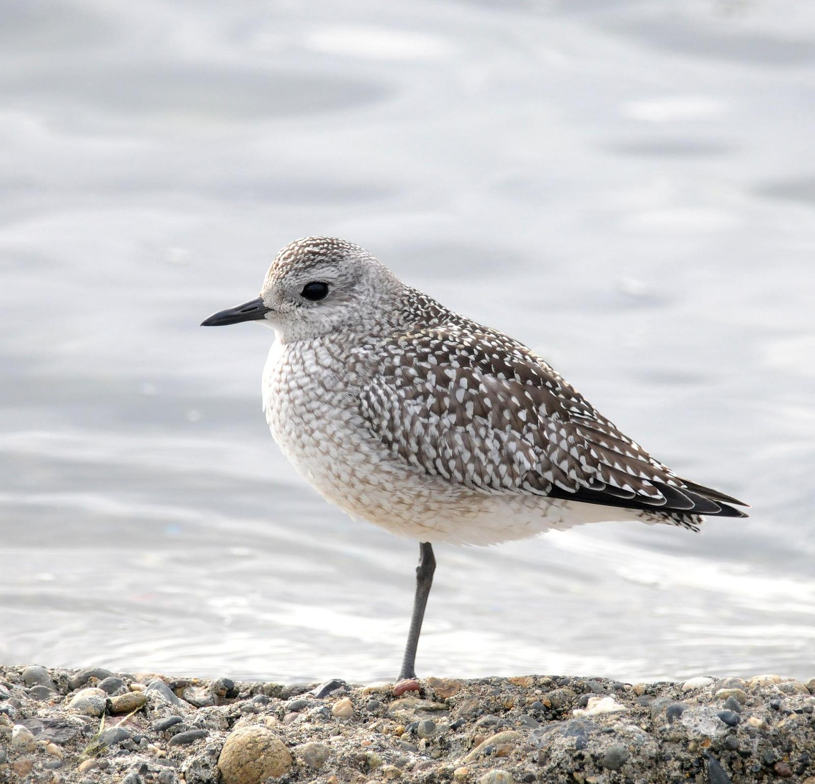 Black-bellied Plover Photo by Steven Mlodinow