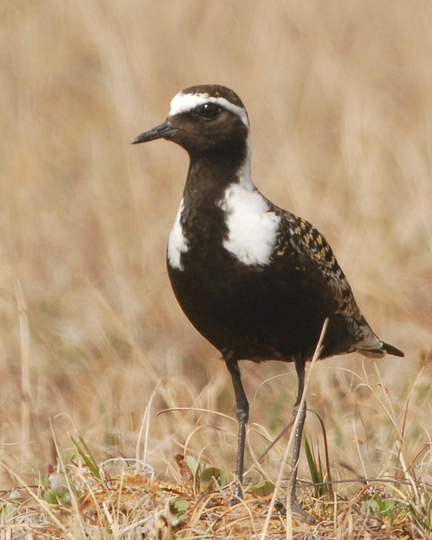 American Golden-Plover Photo by David Hollie