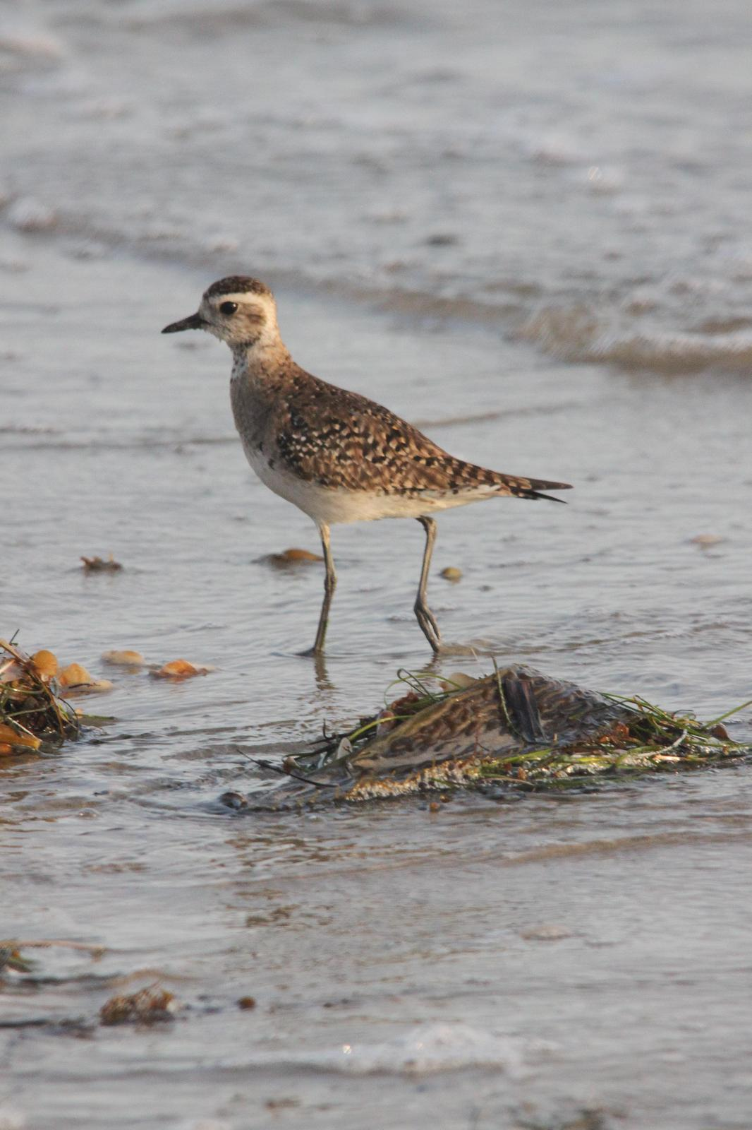 American Golden-Plover Photo by Tom Ford-Hutchinson