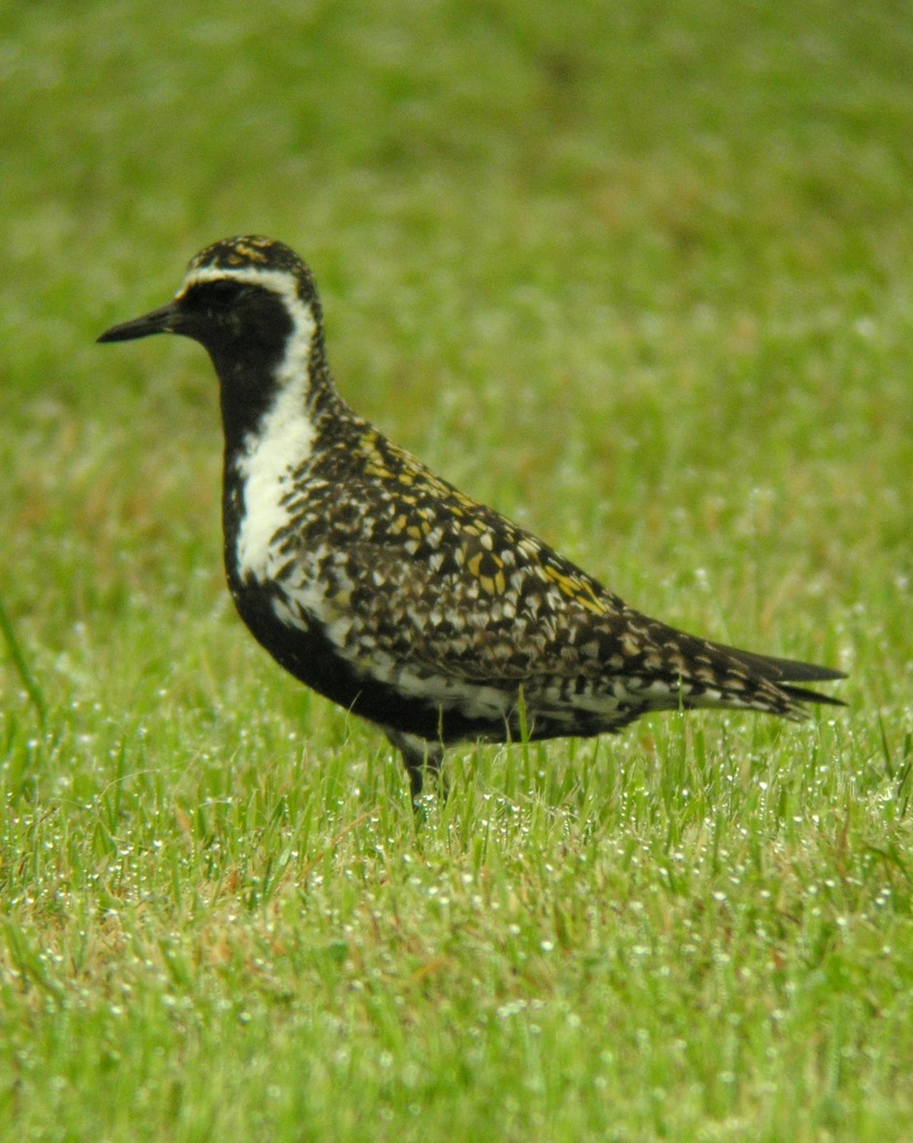 Pacific Golden-Plover Photo by Brennan Mulrooney