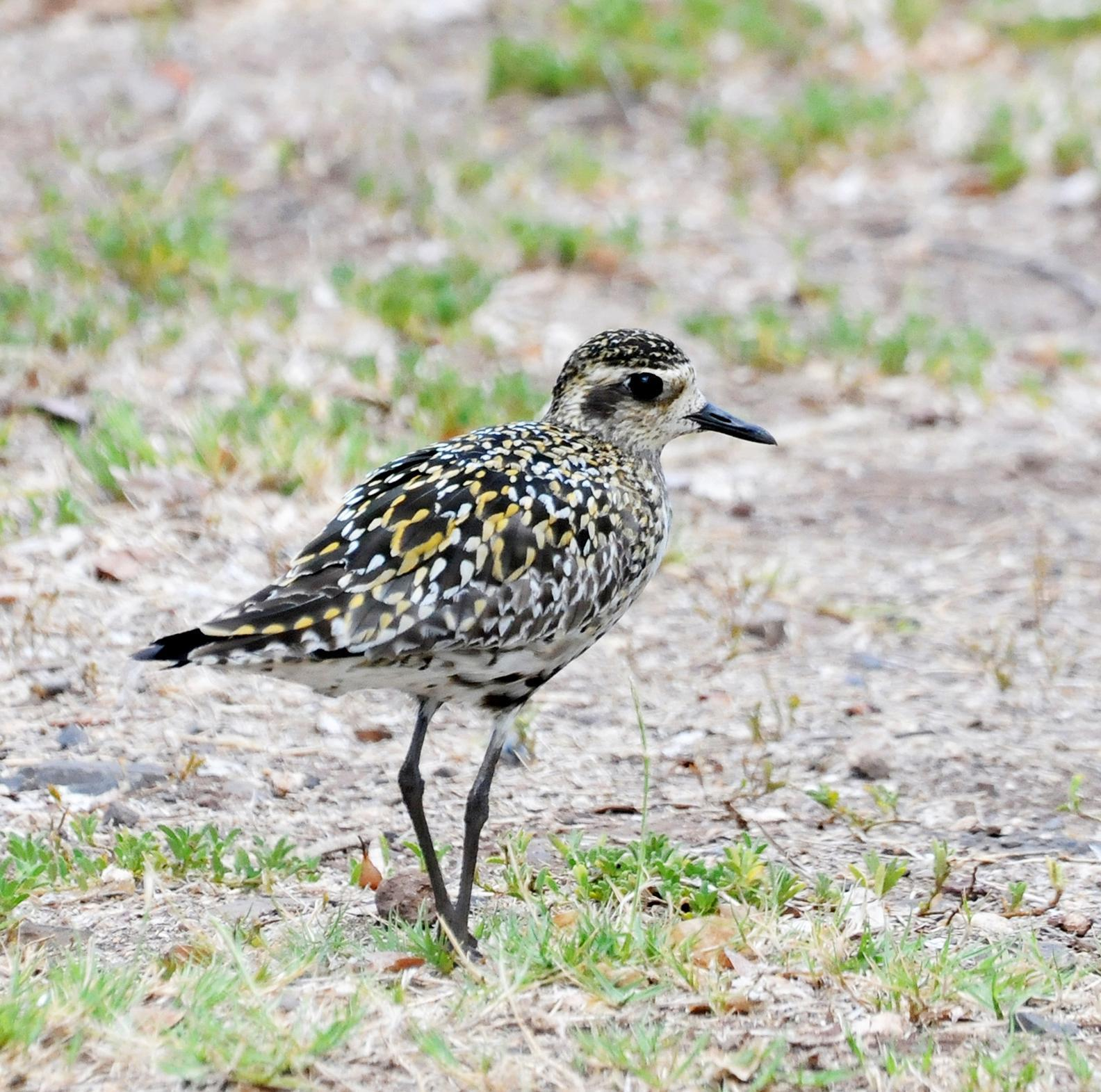 Pacific Golden-Plover Photo by Steven Mlodinow