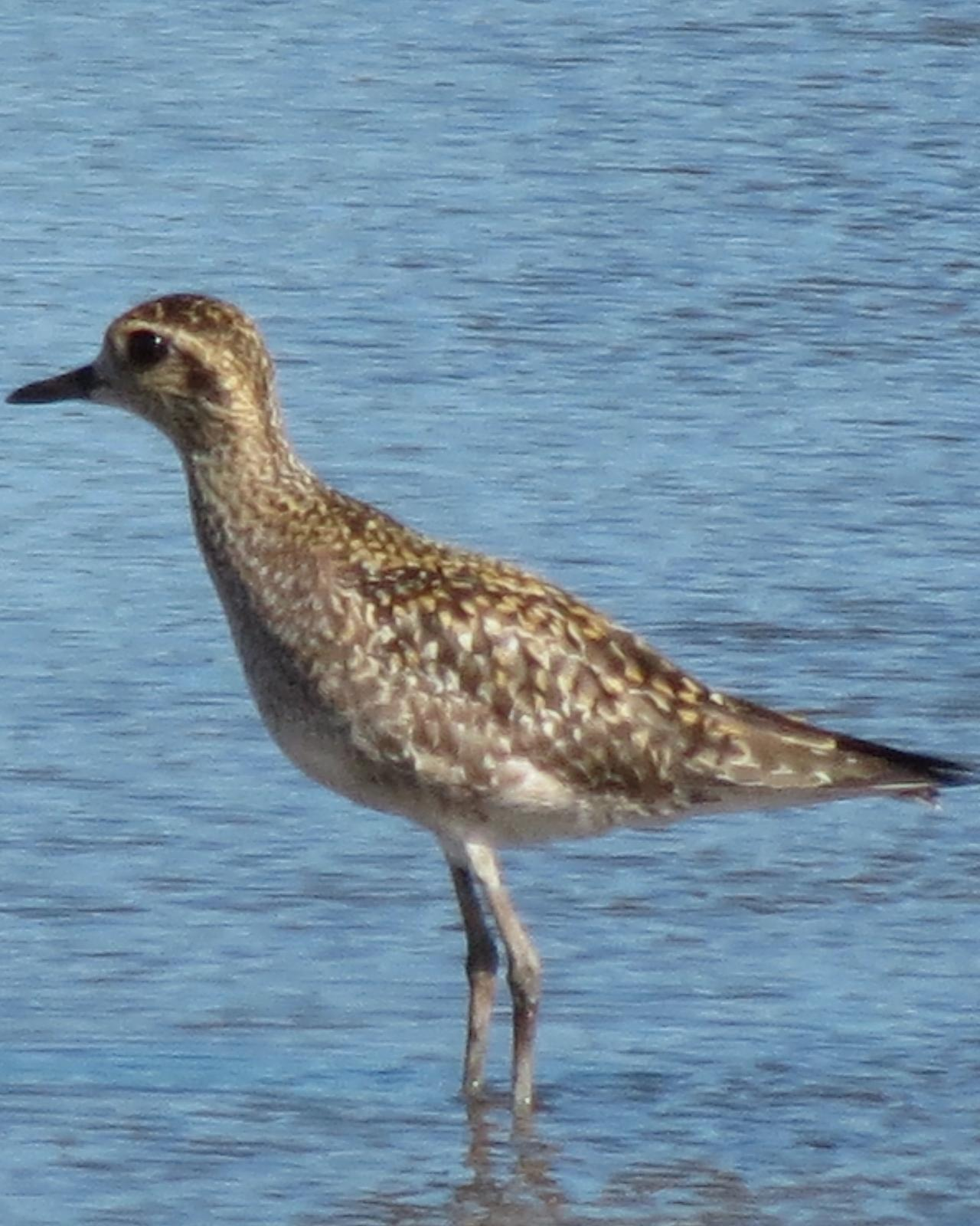 Pacific Golden-Plover Photo by David Bell