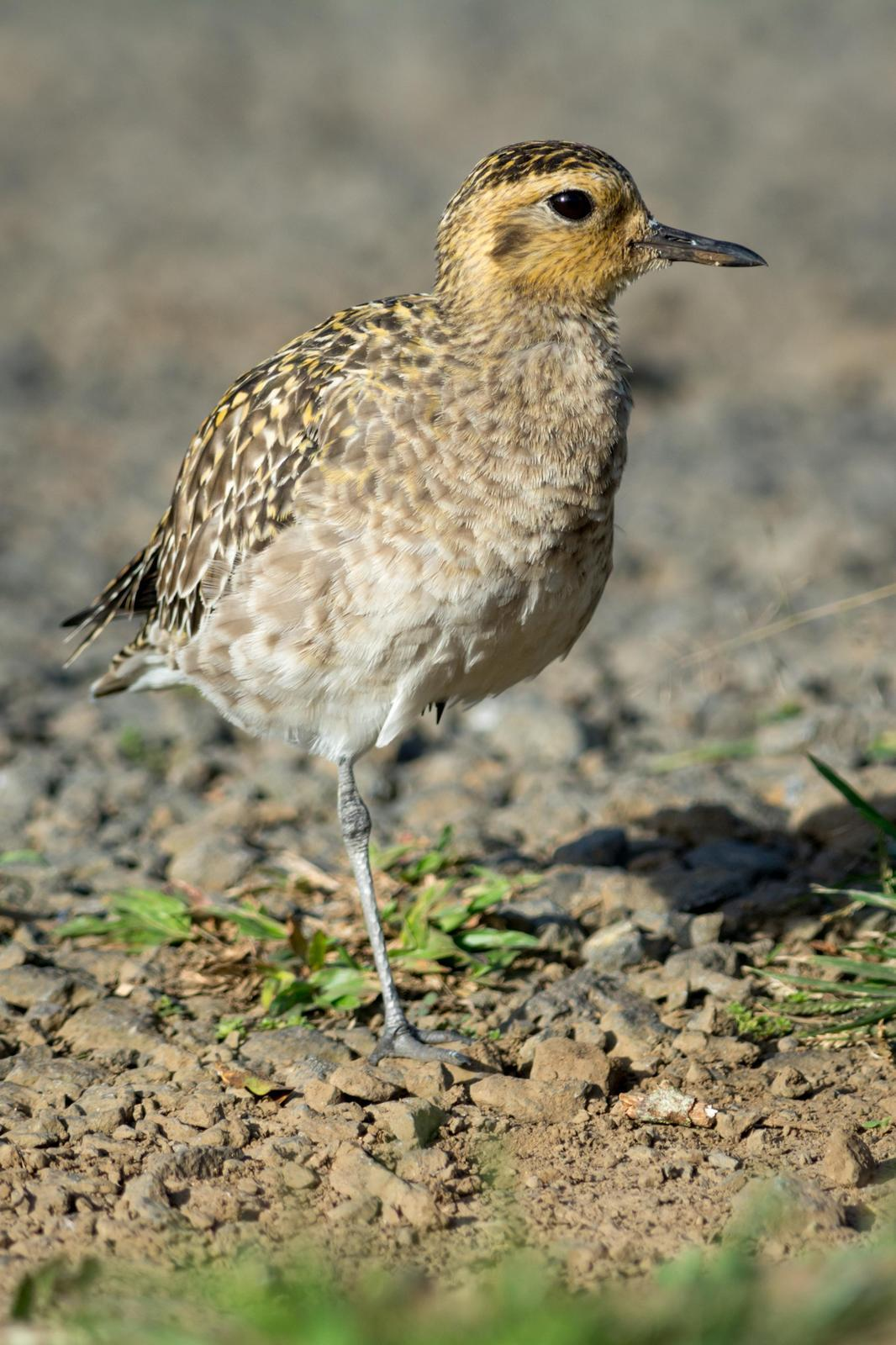 Pacific Golden-Plover Photo by Jesse Hodges