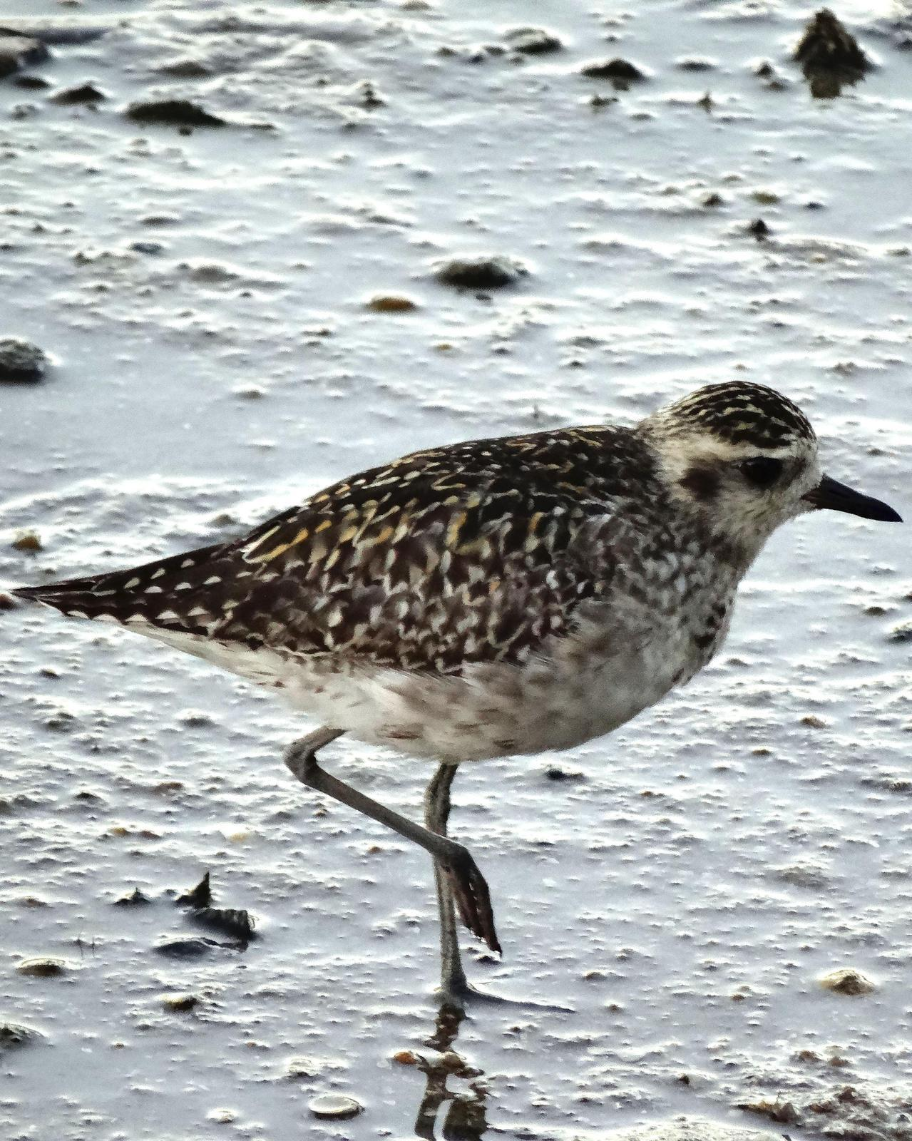 Pacific Golden-Plover Photo by Steve Percival