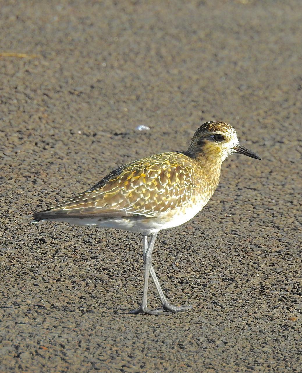 Pacific Golden-Plover Photo by Brian Avent