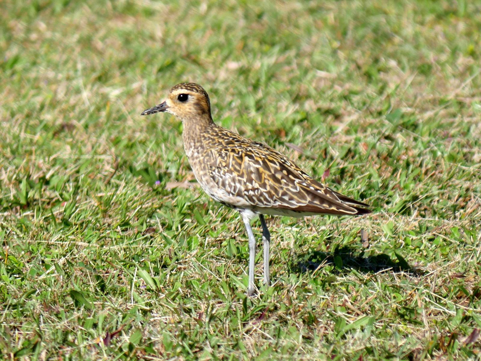 Pacific Golden-Plover Photo by Peter Lowe