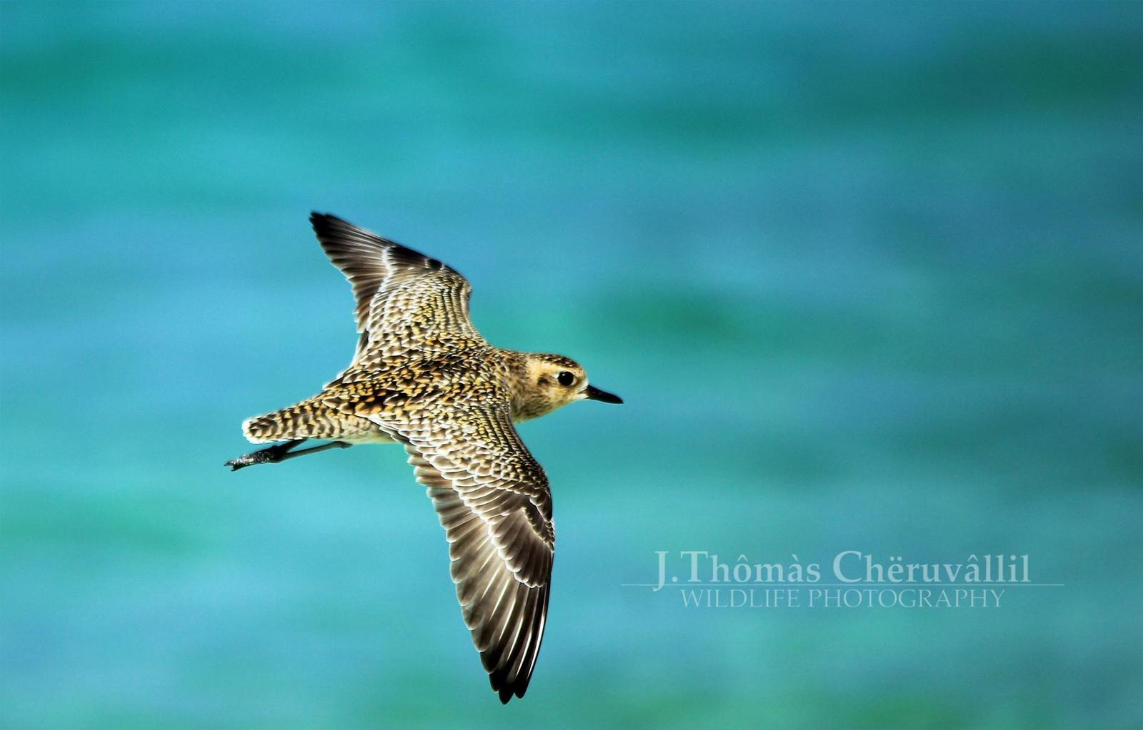 Pacific Golden-Plover Photo by Jinu Thomas